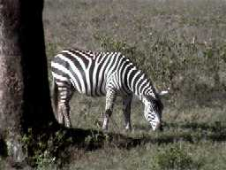Zebra, Lake Nakuru National Park (Kenya)